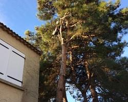 + qu'un jardin... – Sète - Elagage, abattage de Pin avec mise en place de pièges à chenilles processionnaires à Sète